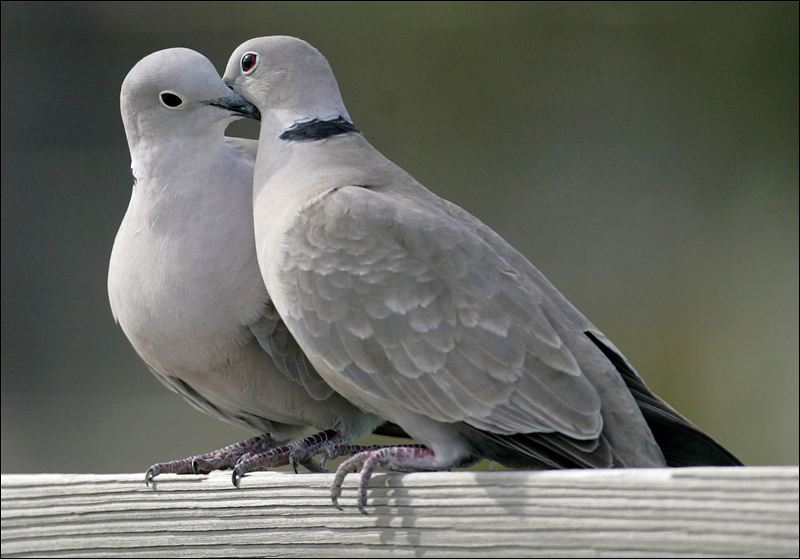 Two Real Turtle Doves Two Turtle Doves