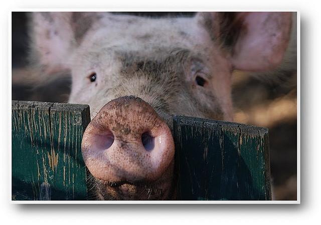 feeding the hogs